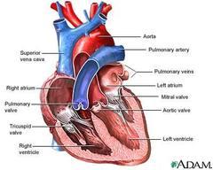 Heart_diagram_1